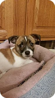 Chihuahua Mix Puppy for adoption in Media, Pennsylvania - Carter