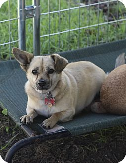 Chihuahua/Pug Mix Dog for adoption in Kempner, Texas - Carter