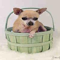 Adopt A Pet :: Paris Hilton - Morgan Hill, CA