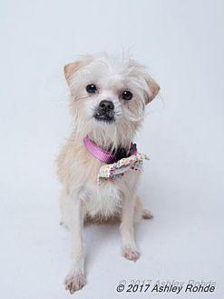 Poodle (Miniature)/Shih Tzu Mix Dog for adoption in Kenner, Louisiana - Sofie