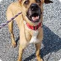 Adopt A Pet :: Bella - Queenstown, MD