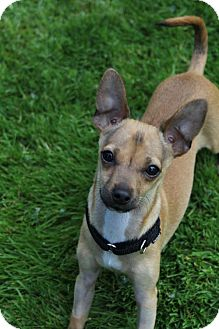 Chihuahua Mix Puppy for adoption in Redmond, Washington - Phil Duckie Dale