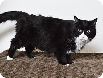 Domestic Mediumhair Cat for adoption in Fruit Heights, Utah - Natasha