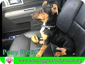 Dachshund/Chihuahua Mix Dog for adoption in Pensacola, Florida - Petey Pablo