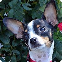 Adopt A Pet :: Julie - Bridgeton, MO