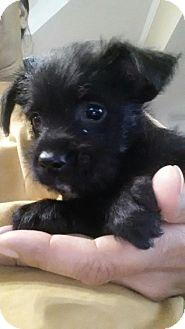 Dachshund/Yorkie, Yorkshire Terrier Mix Puppy for adoption in Cranston, Rhode Island - FREIDA-ADOPTION PENDING