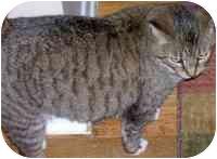 Domestic Shorthair Cat for adoption in cincinnati, Ohio - Jayne Doe