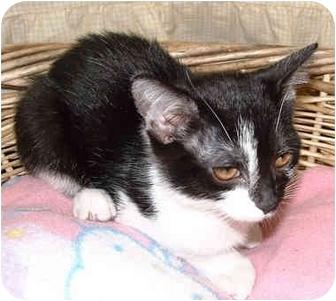 Domestic Shorthair Kitten for adoption in Honesdale, Pennsylvania - Purrlina