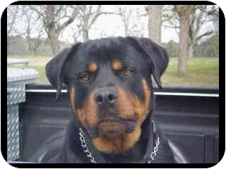 Rottweiler Mix Dog for adoption in Cairo, Georgia - Moose