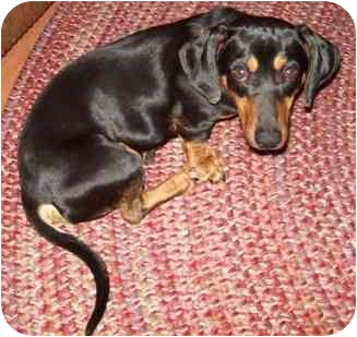 Dachshund Dog for adoption in Tahlequah, Oklahoma - Mikey