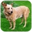 Photo 1 - Australian Cattle Dog Mix Dog for adoption in Phoenix, Arizona - Dundee