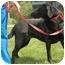 Photo 2 - Labrador Retriever Mix Dog for adoption in Walker, Michigan - Dutchess