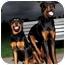Photo 3 - Rottweiler Dog for adoption in Rexford, New York - Hunter