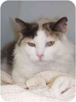 Domestic Longhair Cat for adoption in Clinton, Connecticut - Dolly