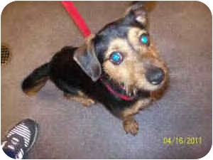 Dachshund Mix Dog for adoption in Haverhill, Massachusetts - Witter 15lbs