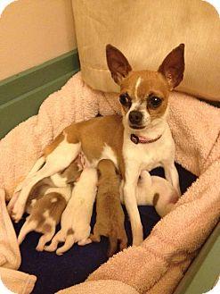 Chihuahua Mix Puppy for adoption in Bridgeton, Missouri - PUPPIES!!!!