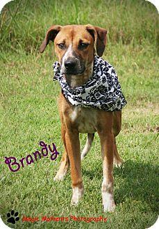 Labrador Retriever Mix Dog for adoption in muskogee, Oklahoma - Brandy