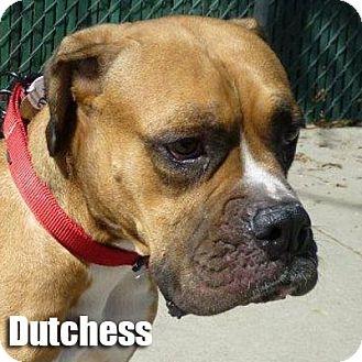 Boxer Dog for adoption in Encino, California - Duchess
