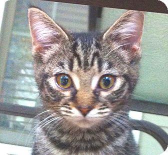 Domestic Shorthair Kitten for adoption in Smithfield, North Carolina - Jocelyn