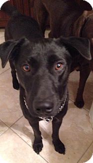 Labrador Retriever Mix Dog for adoption in Phoenix, Arizona - Booker