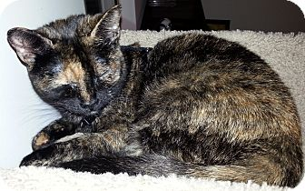 American Shorthair Cat for adoption in Palatine, Illinois - Tamsin