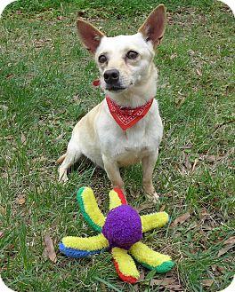 Chihuahua/Dachshund Mix Dog for adoption in Mocksville, North Carolina - Jaycie