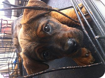 Spaniel (Unknown Type) Mix Puppy for adoption in College Station, Texas - LeiLani
