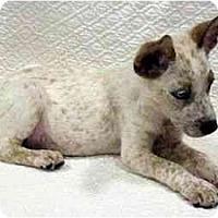 Adopt A Pet :: Ensin - Phoenix, AZ