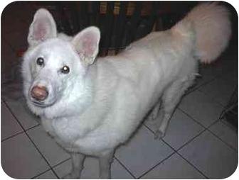 Shepherd (Unknown Type)/Samoyed Mix Dog for adoption in Bristol, Rhode Island - Snoopy