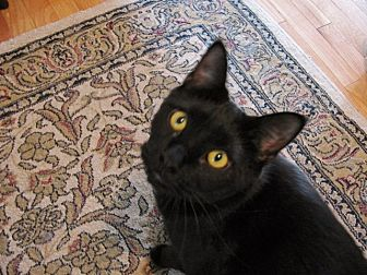 Domestic Shorthair Cat for adoption in Quincy, Massachusetts - Charlie