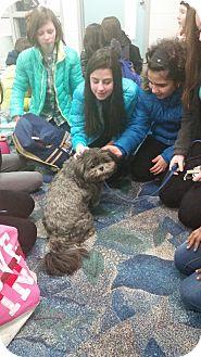Shih Tzu Dog for adoption in Livonia, Michigan - Louie