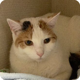 Domestic Shorthair Cat for adoption in Hamilton, New Jersey - PATCHES - 2015