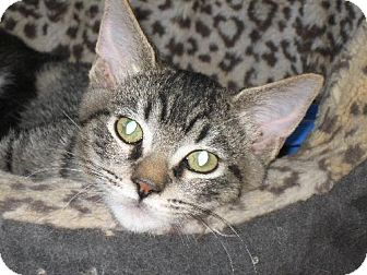 Domestic Shorthair Cat for adoption in Oakland, California - Ollie
