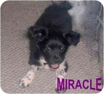 Corgi/Chihuahua Mix Puppy for adoption in Alfred, Maine - Miracle