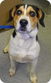 Beagle/Hound (Unknown Type) Mix Dog for adoption in Lincolnton, North Carolina - Sally