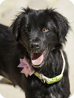 Border Collie/Flat-Coated Retriever Mix Dog for adoption in Washoe Valley, Nevada - Shasta