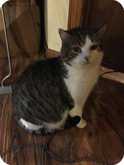 Domestic Shorthair Cat for adoption in Greensburg, Pennsylvania - Homer