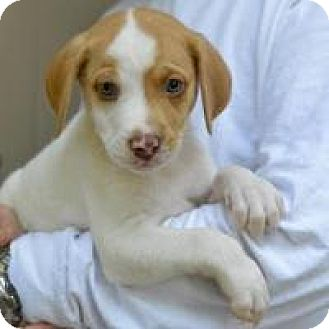 Hound (Unknown Type)/Labrador Retriever Mix Puppy for adoption in Broadway, New Jersey - General Lee