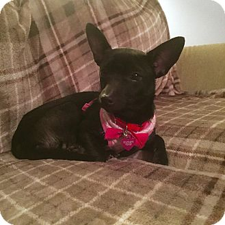 Chihuahua Mix Puppy for adoption in Middletown, Ohio - Winnie