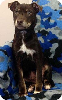 Terrier (Unknown Type, Small) Mix Puppy for adoption in Marietta, Georgia - Chase