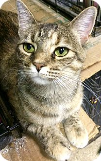 Domestic Shorthair Cat for adoption in Chattanooga, Tennessee - Scout