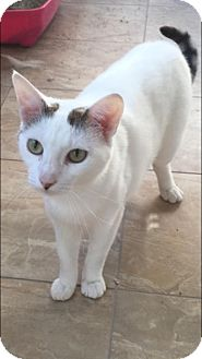 Domestic Shorthair Cat for adoption in Wantagh, New York - Macy