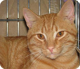 Domestic Shorthair Cat for adoption in New Kensington, Pennsylvania - Marek