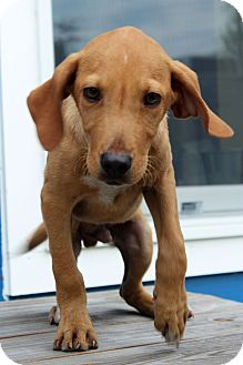 Hound (Unknown Type) Mix Puppy for adoption in Waldorf, Maryland - Winston- Adoption Pending
