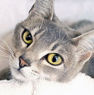 Domestic Shorthair Cat for adoption in St Louis, Missouri - Cookie