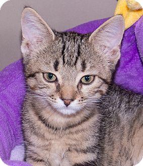 Domestic Shorthair Kitten for adoption in Elmwood Park, New Jersey - Sassy