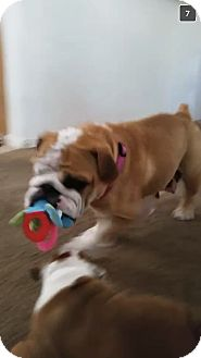 English Bulldog Dog for adoption in Chandler, Arizona - Lola
