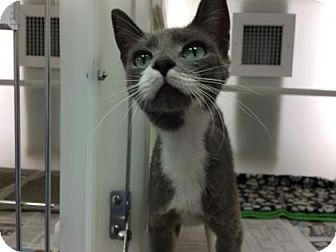 Domestic Shorthair Cat for adoption in Cumming, Georgia - Liz