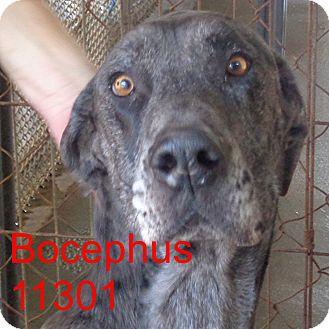 Great Dane Dog for adoption in Greencastle, North Carolina - Bocephus