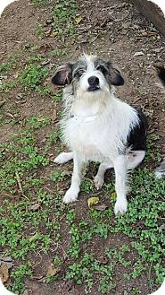 Terrier (Unknown Type, Small) Mix Dog for adoption in Smithtown, New York - Willy